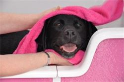 Dog enjoying the hydrobath during being groomed